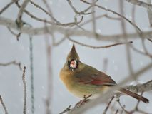 Female Cardinal sitting on a Bare Snowy Branch Royalty Free Stock Image