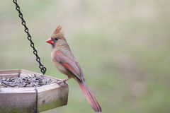 Female Cardinal sitting on bird feeder Stock Photo