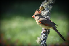 Female cardinal. Sitting on a mossy branch with a green blurred background Stock Photos