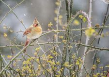 A female Cardinal sits on a branch in the snow. royalty free stock photos