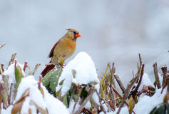 Female Cardinal sitting on a snow bush. Royalty Free Stock Images