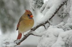 Female Cardinal in Snow. A Female Northern Cardinal (Cardinalis) perched on a snow covered Evergreen during a snow storm in winter royalty free stock image