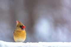 Female Cardinal in Snow. A colorful female Cardinal standing in the snow Stock Photography