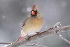 Female Cardinal In Snow Stock Photos