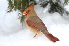 Female Cardinal In Snow Stock Photography