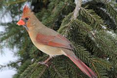 Female Cardinal In Snow Royalty Free Stock Photography