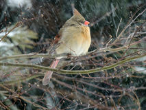 Female Cardinal in the Snow Royalty Free Stock Image