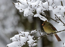 Female Cardinal on Snowy Branch Royalty Free Stock Photos