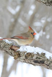 Female Cardinal on snowy tree branch. Close-up photo of a female cardinal bird on a snow covered tree branch Royalty Free Stock Photography