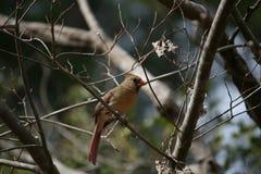 Female Cardinal on a limb Stock Image