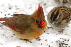 Female Cardinal and Sparrow Stock Photo