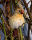 Female Cardinal with Sunflower Seed in Beak Stock Photo