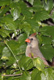 Female cardinal takes a peek. Female cardinal peeks out of its bushy hinding spot royalty free stock photos