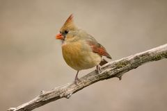 Female cardinal on tree limb Royalty Free Stock Photography