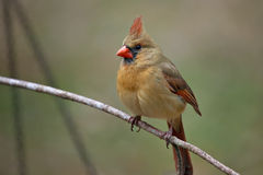 Female Cardinal on twig Stock Image