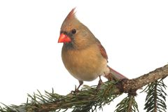 Female Cardinal on White Royalty Free Stock Images