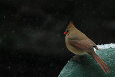 Female Cardinal winter 3 Royalty Free Stock Images