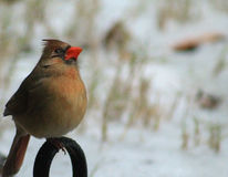 Female Cardinal winter 1 Stock Photography
