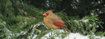 Female Cardinal winter 5 Royalty Free Stock Photography