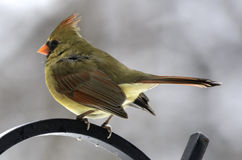 Female Cardinal In Winter Royalty Free Stock Images