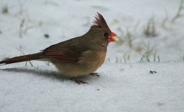 Female Cardinal winter 4 Stock Photos