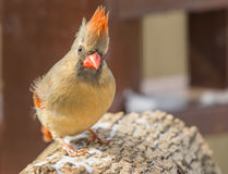 Female cardinal in winter Royalty Free Stock Photography