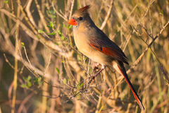 Female cardinal in winter. Sitting in branches Stock Photo