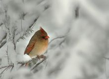 Female Cardinal in Winter Snow. A Female Northern Cardinal (Cardinalis) perched on a snow covered Evergreen during a snow storm in winter Stock Image
