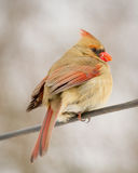 Female Cardinal on Wire in Winter Plumage. This female cardinal perched on a wire in the very cold of winter in Illinois displays her winter plumage very nicely Royalty Free Stock Photography