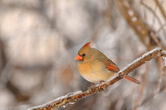 Female Cardinalis cardinalis Royalty Free Stock Photos