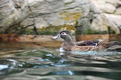 Female Carolina Wood Duck Swimming Royalty Free Stock Photos