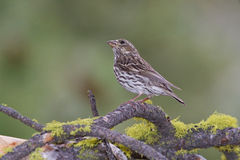 Female Cassins Finch Royalty Free Stock Image