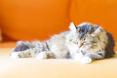 Female cat, brown with white Stock Images