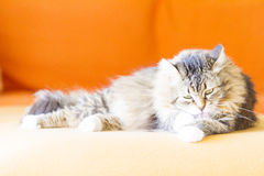 Female cat, brown with white Royalty Free Stock Photos