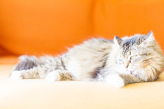 Female cat, brown with white Stock Image