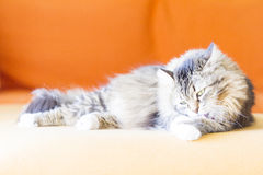 Female cat, brown with white Stock Photos