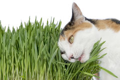 Female cat chewing grass, isolated Stock Image