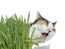 Female cat chewing grass, isolated Royalty Free Stock Photos