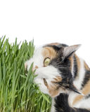 Female cat eating grass, isolated Royalty Free Stock Images