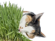 Female cat eating grass, isolated Stock Photos