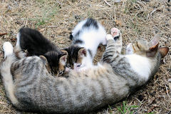 Female cat with kittens Stock Photography
