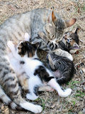 Female cat with kittens Stock Photo