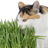 Female cat licking grass, isolated Stock Photo