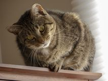 A female cat twisting its head. A female cat looking at something while twisting her head Stock Images