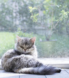 Silver cat in relax at the window, long haired siberian breed. Female cat lying at the window, siberian breed Stock Image