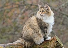 Female cat. Norwegian forest cat sits on a log Royalty Free Stock Photo