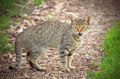 Female cat on the path. Royalty Free Stock Image