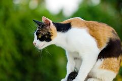 Cat sitting relaxed on the table royalty free stock images