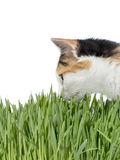 Female cat smelling grass, isolated Royalty Free Stock Photo