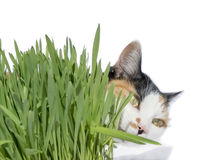 Female cat smelling grass, isolated Stock Photography